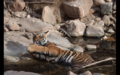 Tiger in Ranthambore 12.png