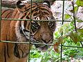 Tigers in ZooParc de Beauval 2.JPG