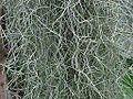 Tillandsia usneoides OB10.jpg