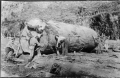 Timber workers using a timber jack on a large kauri log, near Piha ATLIB 334361.png