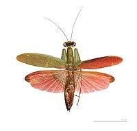 Tithrone roseipennis MHNT vol male.jpg