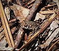 Toad (38541068696).jpg