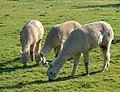 Toft Alpacas (2) - geograph.org.uk - 1286590.jpg