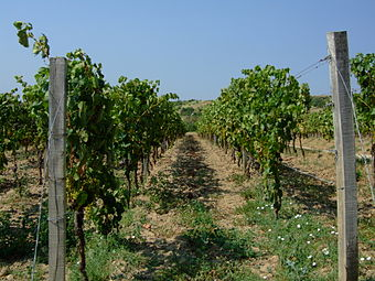 Tokaj vineyard.jpg