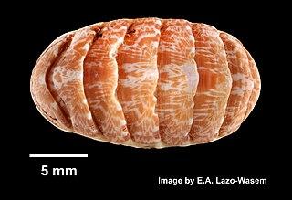 <i>Tonicella marmorea</i>