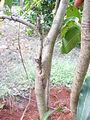 Top Working in Mango Tree (YS) (6).JPG