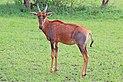 Topi (Damaliscus lunatus jimela) young female.jpg