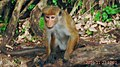 Toque Macaque Monkey at Kurunegala, Sri Lanka.jpg