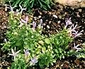 Trachelium asperuloides.jpg