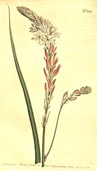Trachyandra falcata