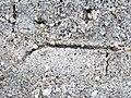 Trail made by variable coquina clam (Donax variabilis) (Cayo Costa Island, Florida, USA) 13 (25955812702).jpg