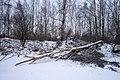 Tree felled by beavers in Yuntolovsky Reserve 2020-12-13-1.jpg