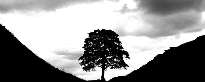 Tree hadrians wall ausschn.jpg