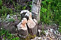 Trees damaged by beavers.jpg