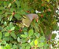 Treron calvus glaucus, in vyeboom, k, Pretoria.jpg