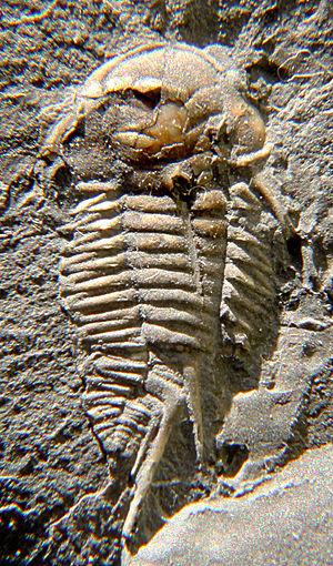 Triarthrus - Triarthrus spinosus, 14mm excluding spines