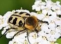 Trichius fasciatus (35082198994).jpg
