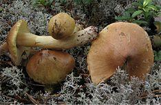gąska piekąca (Tricholoma aestuans)