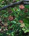Trifolium reflexum (10).jpg