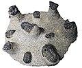 Trilobita fossils.jpg