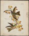 Trochilus rubinoides - 1820-1860 - Print - Iconographia Zoologica - Special Collections University of Amsterdam - UBA01 IZ19100337.tif