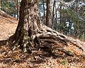 Tsuga canadensis (Canadian Hemlock) (31874288811).jpg