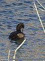 Tufted Duck (Aythya fuligula) (30948362314).jpg