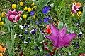Tulipes en fleur au Jardin Massey de Tarbes 07.jpg