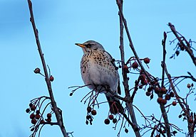 Turdus pilaris on Crataegus in winter.jpg
