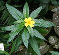Turnera ulmifolia 04.jpg