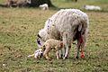 Twin lambs born Ickworth Park (NT) 10-03-2012.jpg
