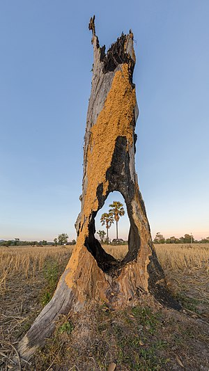 Two Arecaceae (palm trees) in the fields viewed through a hole in a tree stump damaged by fire in Don Tao (Si Phan Don, Laos), at sunrise. Impression of a natural organic frame or window highlighting the main subject of the landscape. Droste effect and self-reference (recursion), poetically this picture shows two healthy trees like a rebirth through the carcass of a third one in the foreground.