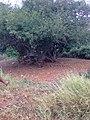 Umbú na roça de Vinho - panoramio.jpg