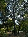 Una alzina als jardins de Can Sentmenat P1510545.jpg