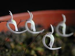 Utricularia sandersonii flower1