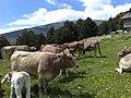 Vaca bruna dels Pirineus.jpg