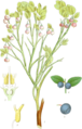 Vaccinium myrtillus (Billeder af nordens flora 1917ff., v1 141, BHL-39907) clean, no-description.png