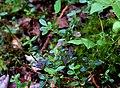 Vaccinium vitis-idaea (14789691333).jpg