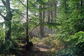 Vapour rising from wet vegetation, Allanglach Wood (geograph 6089465).jpg