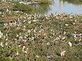 Vedanthangal Bird Sanctuary 08.JPG
