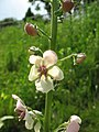 Verbascum blattaria 1.jpg