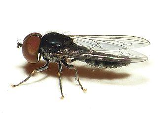 Pipunculidae Family of flies