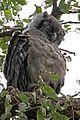 Verreau's Eagle Owl, Gambia (11962136395).jpg