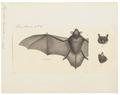 Vespertilio limnophilus - 1700-1880 - Print - Iconographia Zoologica - Special Collections University of Amsterdam - UBA01 IZ20800135.tif