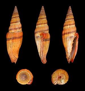 Muricoidea - Image: Vexillum ornatum 01