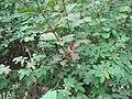 Viburnum edule (3907039260).jpg