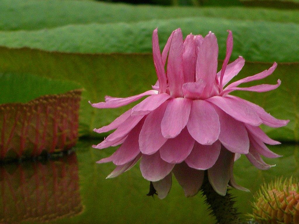 Lotus Flower China Wikipedia Clm Cutai I Gsii
