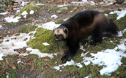 Vielfraß (Gulo gulo) Zoo Salzburg 2014 b.jpg