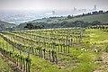 Vineyards in Döbling 03.jpg