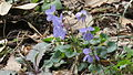 Viola grypoceras - Institute for Nature Study, Tokyo.JPG